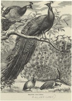Free peacock image 2 from NY Public Digital Library