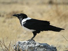 The Pied Crow (Corvus albus) is a widely distributed African bird species in the crow genus.  Structurally, the Pied Crow is better thought of as a small crow-sized Raven, especially as it can hybridise with the Somali Crow (Dwarf Raven) where their ranges meet in the Horn of Africa. Its behaviour, though, is more typical of the Eurasian Carrion Crows, and it may be a modern link (along with the Somali Crow) between the Eurasian crows and the Common Raven.