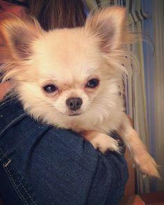 Beautiful Baby Girl, Beautiful Babies, Chihuahuas, Yorkies, Chiwawa, Cute Chihuahua, Dog Things, Little Pets, My Baby Girl