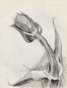 Tulip. Pencil on paper. Chuck Boyer
