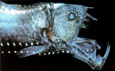 Deep Sea Creatures Vol. 11: The Viperfish | Life Underwater
