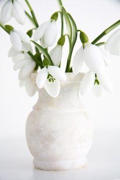 vintergækker (snowdrop flowers)