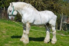 """Boulonnais, also known as the """"White Marble Horse. Originally used to pull carts full of fresh fish from Boulogne to Paris, while the larger varieties performed heavy draft work, both on farms and in the cities."""