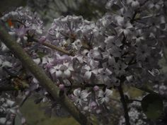 lilacs are the cities flower
