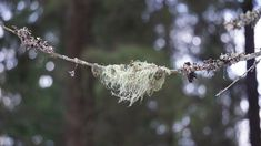 Mother Earth's Medicine Cabinet:  Usnea - The Life Saving Lichen?utm_source=pinterest