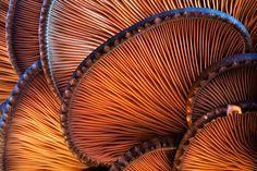 bottom side of a oyster mushroom by struller.deviantart.com on @deviantART