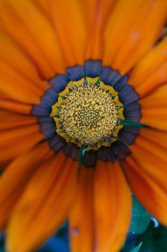 Orange gazania daisy