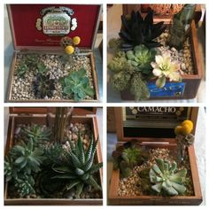 Adopted the 13 succulent in cigar box centerpieces from the wedding that my bride wanted to toss. Trying to assess what to do with them. It might be Terrarium Time. by GenStarchild, via Flickr