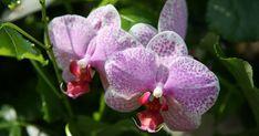 Kaum eine Zimmerpflanze erfreut sich so großer Beliebtheit wie die Orchidee. Da die exotische Schönheit aber einige Ansprüche an ihre Halter stellt, haben wir für Sie die fünf wichtigsten Regeln zur Orchideenpflege zusammengefasst.