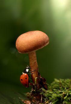 *ladybug climbing a mushroom
