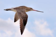 Bar-tailed Godwit  Listed as:  Rare in Florida