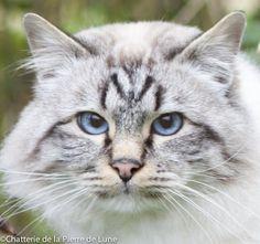 Sacré de birmanie Photo Chat, Cute Little Animals, Cute Cats, Amazing, Wedding, Cutest Animals, Gatos, Amazing Pictures, Cats And Kittens