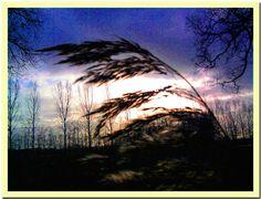 In de wind wuivend riet