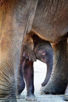 Baby Elephant Photo credits: Gabi Moore / Indianapolis Zoo via Zooborns :) Image Elephant, Elephant Love, Elephants Never Forget, Save The Elephants, Baby Elephants, Cute Baby Animals, Animals And Pets, Wild Animals, Beautiful Creatures