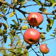 Apfelernte im Herbst: Tipps zum Ernten