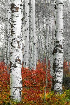 68 Ideas Birch Tree Photos Plants For 2019 Landscape Quilts, Landscape Art, Landscape Paintings, Tree Drawing Simple, Birch Tree Art, Simple Acrylic Paintings, Aspen Trees, Watercolor Trees, Photo Tree