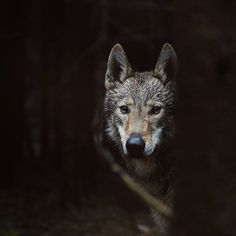 #killer #czechoslovakianwolfdog #myfriend #wolfdog #dogofinstagram #dogoftheday #wolf #altair #thebest_capture #hajkanphoto Czechoslovakian Wolfdog, Dog Days, Instagram Posts, Animals, Animales, Animaux, Animal, Animais