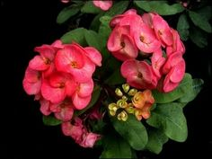 Crown of Thorns Cactus - Traditionally a symbol of good luck - Ideal gift for all - Blooms almost all year round -Produces Vibrant red flowers - Very easy to care for - Euphorbia milii Vulcanus - Euphorbia splendens (1) Best4garden http://www.amazon.co.uk/dp/B010T1U6M6/ref=cm_sw_r_pi_dp_sG5kwb19PYDMG
