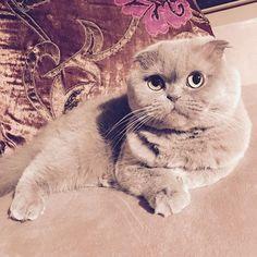 Serious cuteness! #snugglebomb #meecheebomb #rosie #lilaccat #catsofinstagram #scottishfold