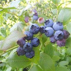 Blåbær 'Duke'  En løvfældende, opretvoksende dværgbusk, som bliver ca. 1 m. høj. Tæt grenvækst, hvor de unge grene er grønne. Denne sort er modstandsdygtige overfor mange sygdomme. Blomstrer i maj-juni måned med små hvidlige blomster. Bæret, som er dugget blåsort, stort fremkommer i juli/august måned. Kræver sur jordbund.
