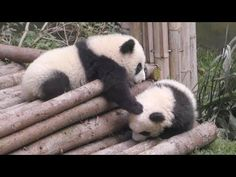 【起きろ~!】同級生に飛び技連発する赤ちゃんパンダw♪【早送りじゃないよw】Chengdu Base of Giant Panda - YouTube