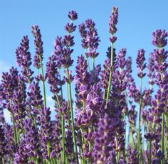 This is a list of the best lavender varieties for Zone 5. I have not had much luck with lavender in my garden, however if you can cultivate it, the deer will leave it well alone. And the fragrance is wonderful!