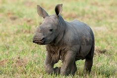 baby rhinos - Google Search