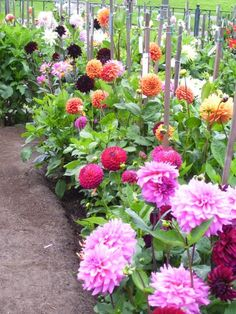 Rousham Park House Dahlia Garden Oxfordshire England Envy
