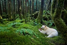 Known as the spirit bear or the Kermode bear, this revered and rare creature is found almost exclusively in the a moss-draped rainforest in British Columbia, Canada's Great Bear Rainforest. Description from mymodernmet.com. I searched for this on bing.com/images