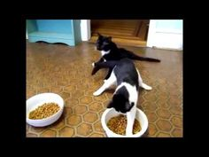 Cat best funny videos 2016 [Cat funny videos collection]  Useful Advice for Cats: How To Care For Your Human By [http://ift.tt/2alohjk Carlsen   For us cats there are several sweet advantages in having a human as a pet. However remember you are taking on a big responsibility when you adopt one or more humans. Humans are demanding pets that need daily care and attention.  With responsibility come both advantages and disadvantages. If you adopt a human you must get used to spending time at…