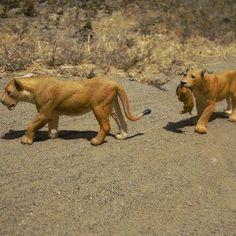 Thispicturewas taken over a year ago, #papotoys #lioness #africa #wildcat #bigcat #savannah #lionpride #lion #predator