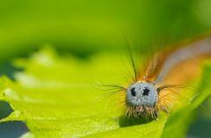 Chenille de papillon Malacossona ou Bombyx à bague