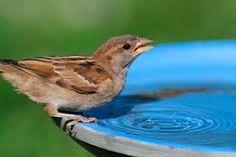 Image result for birds in bird baths