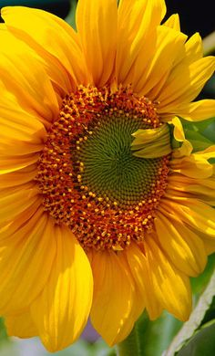 Sunflowers- these are just you, Sue!  You can buy a big box of Birdseed sunflowers and plant them (I have done this before), with a bit of soil prep & occasional water these should grow.