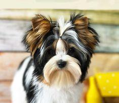 Biewer Yorkshire, Yorkshire Terrier Dog, Pretty Animals, Cute Animals, Yorkie Hairstyles, York Dog, Raining Cats And Dogs, Yorkie Puppy, Dog Id