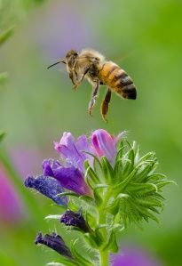 STOP using pesticide and substance that kills insects because you are killing bees too. Get rid of insects a natural way so you don't harm the bees. I Love Bees, Birds And The Bees, Bees And Wasps, Fotografia Macro, Bee Sting, Bugs And Insects, Save The Bees, Bees Knees, Bee Keeping