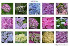 Hortensia collage