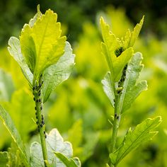 Learn how to protect your plants from aphids.