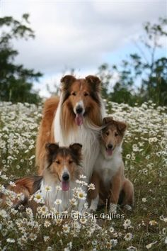 Northern Classic Rough Collie Mom With Her Two Babies in a Stunning Wildflower Field. Pet Dogs, Dogs And Puppies, Dog Cat, Doggies, Beautiful Dogs, Animals Beautiful, Cute Animals, Collie Puppies, Collie Dog