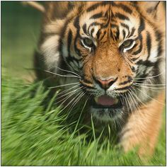 Tiger! Tiger! burning bright  In the forests of the night,  What immortal hand or eye  Could frame thy fearful symmetry?  This is a CRITICALLY ENDANGERED Sumatran tiger
