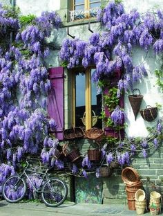 Wisteria, Brittany, France   GOT A SLIP OF THE PURPLE WISTERIA.....PLANTED IT IN MY PURPLE PETUNIA PLOT WHERE IT IS THRIVING PROFUSELY......ccp