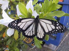 White Monarch Butterfly a much unseen species
