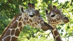 Philadelphia Zoo, the first in the country, established in 1800. It's beautiful and these to beauties have a baby now, the 3 of them travel together, really lovely.