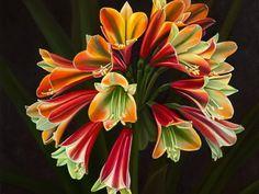 Цветы кливия: фото, родина растения и как выглядит цветок кливия после цветения