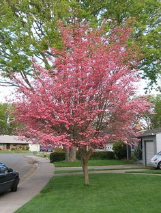 Cornus florida 'Rubra'. All you need to know about a Dogwood Tree.