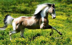 """Bandit's Gold Allante"" - spotted saddle horse stallion"