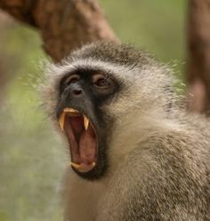 Species of vervet monkeys – A Selection of Pins about Animals List Of Animals, Zoo Animals, Primates, Mammals, Monkey Species, Types Of Monkeys, Ape Monkey, San Diego Zoo