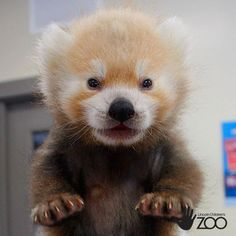 Baby Lincoln The Red Panda Stealing Everybodys Heart