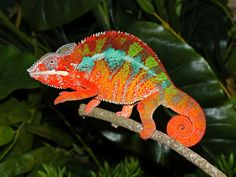 chameleon - Google Search