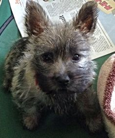 Cairn Terrier - Pearl at 11wks.